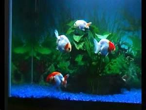 ranchu goldfish and baby lionhead goldfish 2 - YouTube