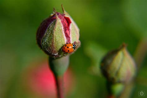rose bud  ladybug background high quality