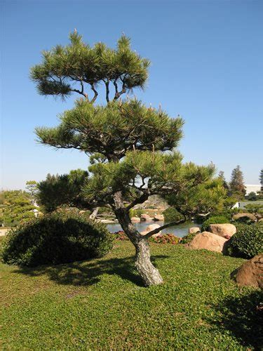 small outdoor trees japanese garden plants landscaping network 5534