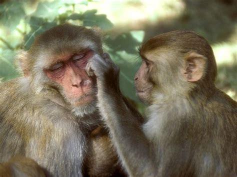 List Of Old World Monkey Species Part4