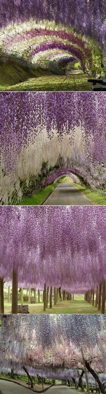 japanese wisteria tunnel kawachi fuji garden in japan wisteria tunnel christin fonn abbott this looks like it d fit in