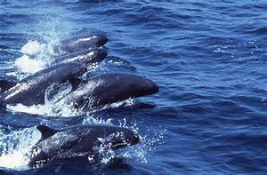 False Killer Whale - Bing images