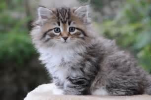 siberian cats siberian cat and kitten colours