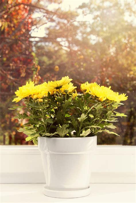 planting mums chrysanthemum houseplants how to grow mums indoors