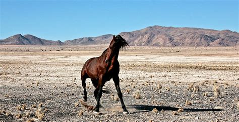 wild horse namib desert namibia horses population africa magazine south freedom taller mongolian contrast przewalski striking domesticated leaner never africageographic