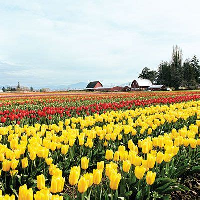 tulip season in usa 16 spring trips in california tulip fields and holland