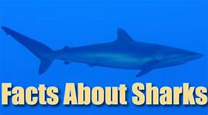 Facts About Sharks For Kids Information Pictures U0026 Videos