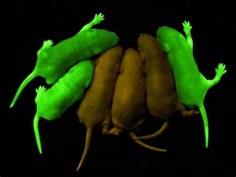 modification si鑒e social sci alba a coelha e gfp polimerase de mesa