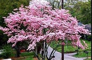 flowering dogwood tree seeds small ornamental beautiful flowers