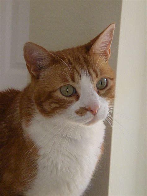 mind blowing orange aegean cat images  pictures