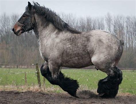 draft belgian heavy horse horses breeds brabant belgium google van breed stallion animals trekpaard mule gamin myostatin pretty dutch beloved