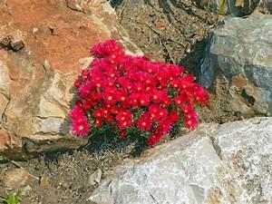 Rote Stauden Winterhart : steingartenpflanzen ~ Michelbontemps.com Haus und Dekorationen