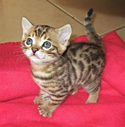 how much is a cat how much does a bengal kitten cost many