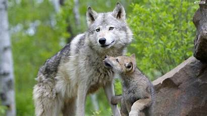Wolf Wallpapers Wolves Gray Pup Babies Mom