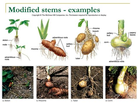 Names Of Modified Roots by Chapter 25 Structure And Organization Of Plants Ppt