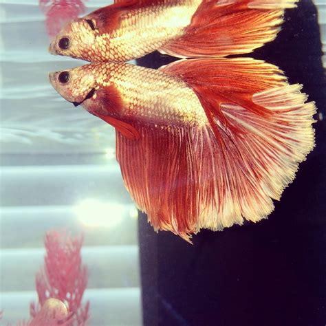 genetics  betta fish tail types  aquarium club