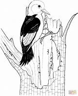 Woodpecker Coloring Headed Pages Woodpeckers Printable Drawing Clipart Birds Supercoloring Drawings Colouring Adult Paper Categories sketch template