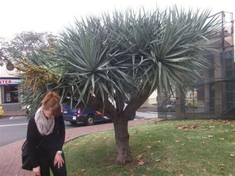 Yucca Palme Draußen by Yucca Palme Kostenloser Versand De