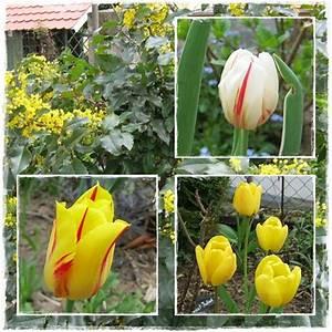 Tulpen Im Garten : neues vom lindenhof narzissen und die tulipan ~ A.2002-acura-tl-radio.info Haus und Dekorationen
