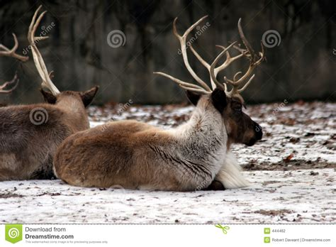 deer lying    forest stock photography image