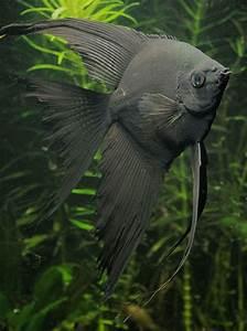 Freshwater Angelfish Information Aquatic Mag