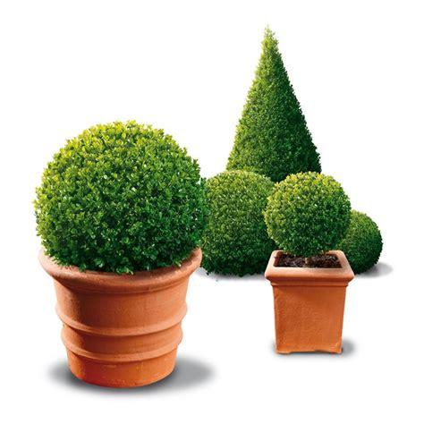 alberi da vaso per terrazzo pini da vaso