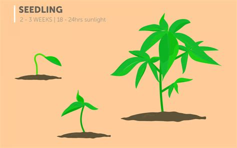 The Stages Of Cannabis Plant Growth Mdmmcc