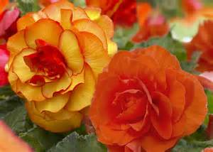 Types Of Beds by Types Of Begonias