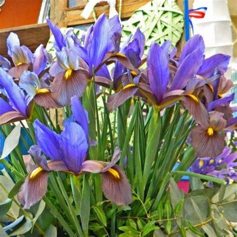 iris eye of the tiger iris x hollandica eye of the tiger iris de hollande iris bulbeux 224 fleur bleu violet fonc 233