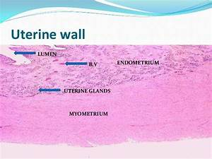Histology Of Avian Female Reproductive System