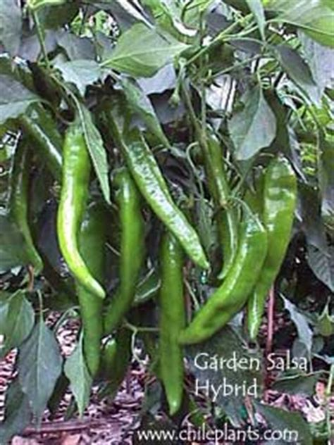 garden salsa pepper chileplants garden salsa hybrid live chile pepper