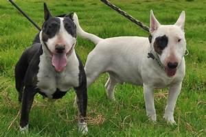 Bull Terrier Dogs: Bull Terrier naughty & lovely dogs