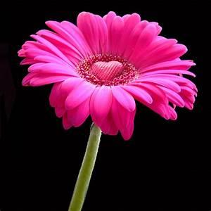 flowers for flower lovers.: Gerbera flowers.