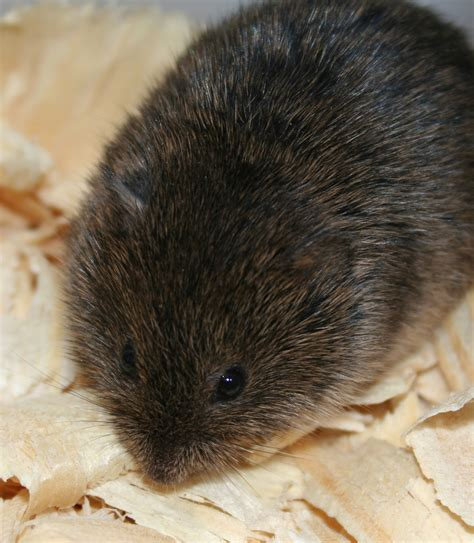what is a vole dewoody vole