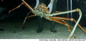 Image Gallery largest japanese spider crab