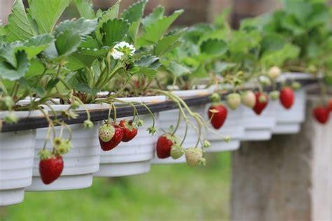 fragole in vaso coltivazione coltivare fragole orto in balcone come coltivare le