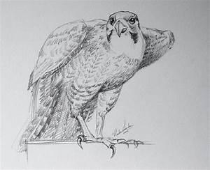Falcons Birds Drawings