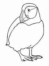 Albatross Coloring Puffin Getdrawings sketch template