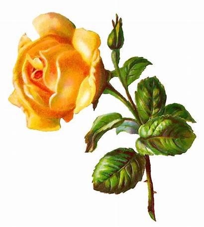 Rose Yellow Flower Digital Clip Printable Clipart