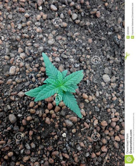 201 de plante de croissance de marijuana de cannabis sur le m 233 lange de sol photo stock