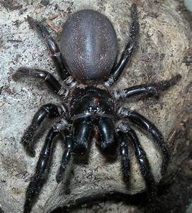 Funnelweb Spiders at Spiderzrule - the best site in the ...