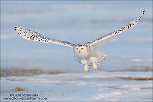 Snowy Owl flying with talons spread