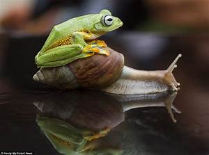 Indonesian flying frog tries to hitch a ride on snail's ...