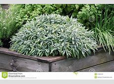 Herbs Plant On The Raised Garden Bed Stock Image Image