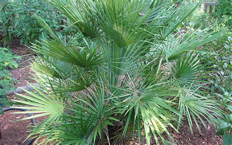 planting fan palm trees european fan palm chamaerops humilis 3 gallon palm