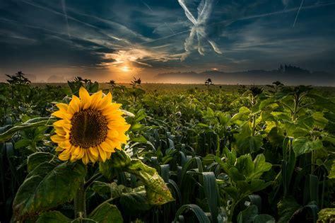 Field Flower Nature Summer Sunflower Yellow Flower