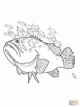 Coloring Pages Grouper Giant Tuna Template Fish Drawing Printable Ausmalbilder Ausmalen Zum Jolly Getcolorings Drawings Sketch Jellyfish Stingray Gemerkt Von sketch template