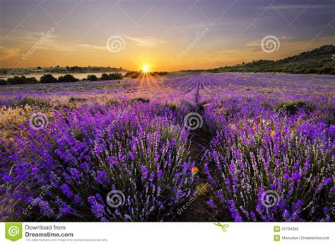 sunset  lavender field royalty  stock image