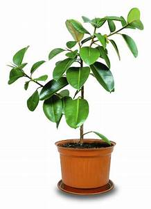 10 Indoor Plants that Help You Breathe Easy | Rubber plant ...
