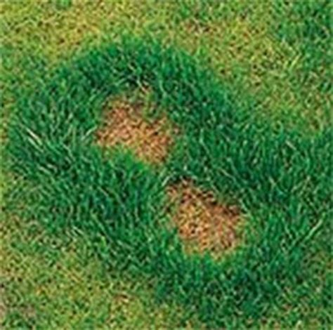 spotless lawn repairs  prevents dog urine spots